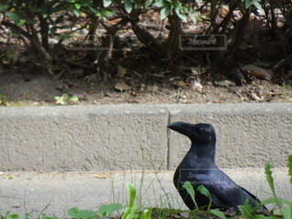 草の中に立っているカラスの写真・画像素材[3706776]