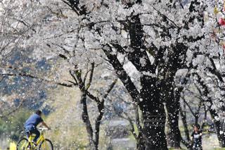 桜吹雪の写真・画像素材[3111032]