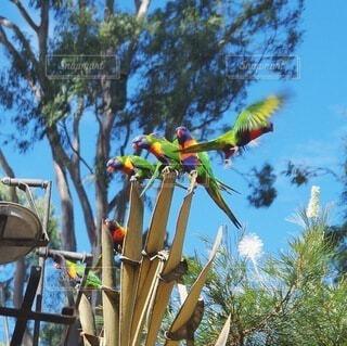 野鳥の餌付け オーストラリア | ゴールドコーストの写真・画像素材[3697339]
