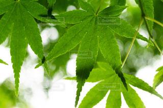 緑モミジの写真・画像素材[4371142]