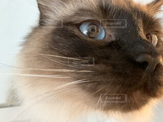 カメラを見ている猫のクローズアップの写真・画像素材[3672534]