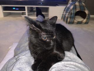 膝の上で甘えるマンチカン猫の写真・画像素材[4943409]