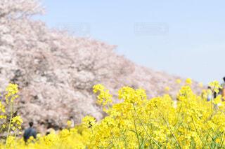 桜と菜の花の写真・画像素材[3671640]