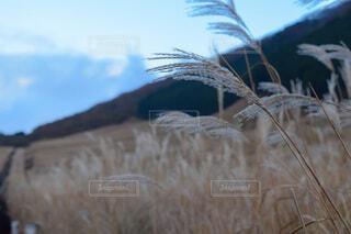秋のすすきの写真・画像素材[3671925]