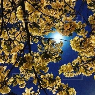 月夜の花見の写真・画像素材[3679284]