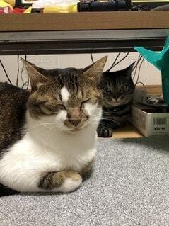 机の下横たわっている猫の写真・画像素材[3675396]