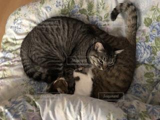 ベッドに横たわる2匹の猫の写真・画像素材[3675426]