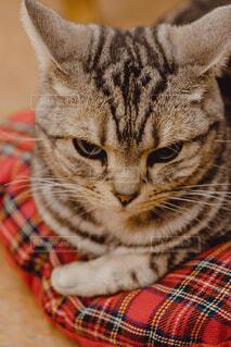 横になってカメラを見ている猫の写真・画像素材[3680120]
