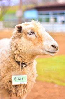 羊の写真・画像素材[3689700]