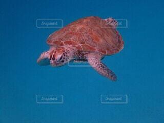 水の下で泳ぐウミガメの写真・画像素材[3680335]