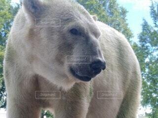 野原の上に立つホッキョクグマの写真・画像素材[3678340]