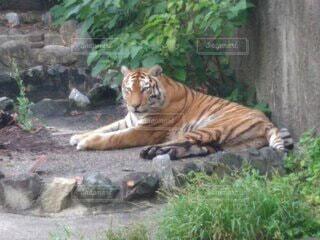 草の中に横たわる虎の写真・画像素材[3678407]