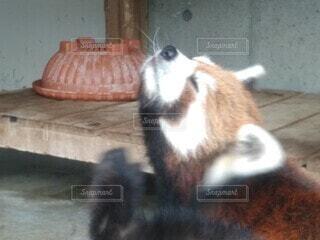 レッサーパンダの写真・画像素材[3678424]