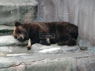 石垣を横切って歩いている大きなヒグマの写真・画像素材[3678422]