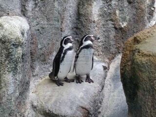 ラブラブペンギン♥の写真・画像素材[3679191]