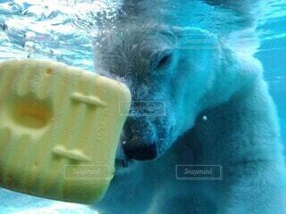 水のプールで泳ぐホッキョクグマの写真・画像素材[3679209]