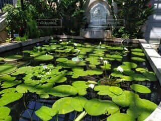 池の蓮の写真・画像素材[3680869]