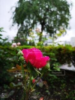 雨粒とピンクのバラの写真・画像素材[4439101]