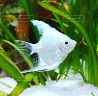 白い魚の写真・画像素材[4507190]