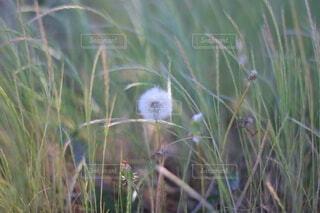 たんぽぽのクローズアップの写真・画像素材[3682545]