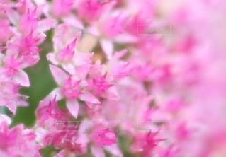 水滴の付いているピンクのベンケイソウの写真・画像素材[240844]