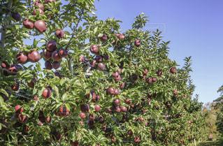 りんごの木の写真・画像素材[847464]