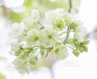 ウコンザクラの花の写真・画像素材[1059621]