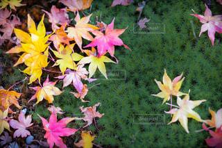 ピンクの花のグループの写真・画像素材[1606547]