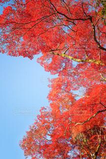 清水寺の真っ赤なモミジの紅葉の写真・画像素材[1632969]