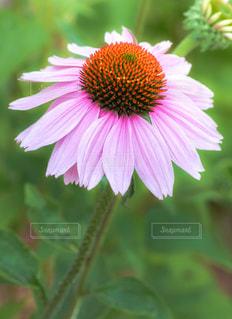 エキナセアまたはムラサキバレンギクの花の写真・画像素材[1633001]