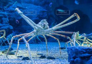 水族館のタカアシガニの写真・画像素材[1636364]