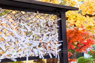 京都のお寺に奉納されたおみくじと紅葉の写真・画像素材[1662752]