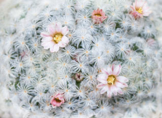 マミラリア白星のピンク色の花の写真・画像素材[1718906]