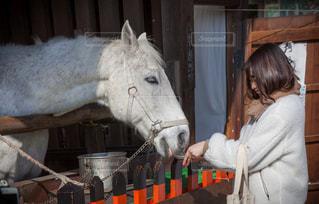 上賀茂神社の神馬の写真・画像素材[1747153]
