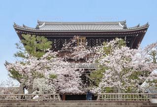 金戒光明寺と満開の桜の写真・画像素材[1805905]