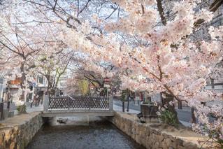 木屋町通りの桜の写真・画像素材[1830458]