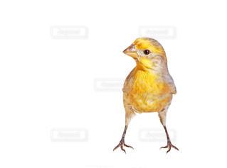 黄色い小鳥の写真・画像素材[1830460]