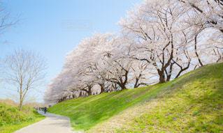 背割堤の満開の桜の写真・画像素材[1851907]