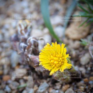 フキタンポポの花の写真・画像素材[1854012]
