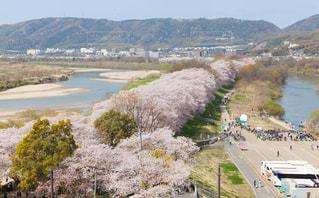 背割堤の満開の桜の写真・画像素材[1876815]
