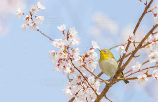 桜の枝にとまるメジロの写真・画像素材[1876817]