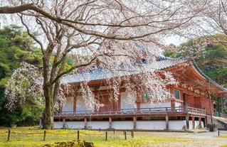 醍醐寺の満開の桜の写真・画像素材[1876820]