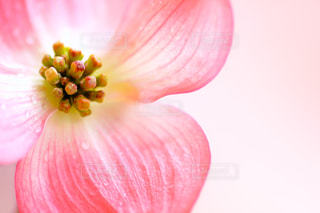 ハナミズキの花のクローズアップの写真・画像素材[2117130]