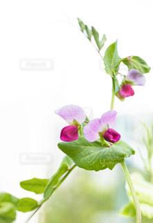 紫えんどうの花の写真・画像素材[2183194]