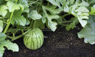 菜園で栽培されているスイカの写真・画像素材[2374722]