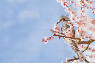 梅の花とヒヨドリの写真・画像素材[2854756]