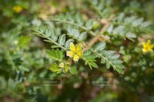 ハマビシの花の写真・画像素材[3332945]