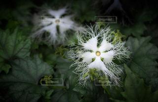 キカラスウリの花のクローズアップの写真・画像素材[3497012]