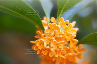 キンモクセイの花のクローズアップの写真・画像素材[3809752]