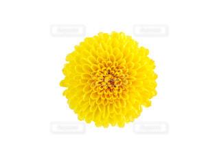 白背景の食用菊のクローズアップの写真・画像素材[4430320]